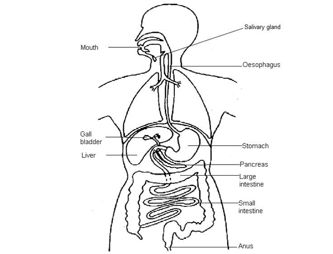b2 1 tissues  organs and organ systems  u2022 a  biology