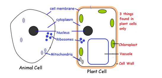 Plant cells and animal cells • A* Biology
