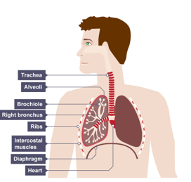 Lung diagram gcse wiring circuit 11 gas exchange in humans u2022 a biology rh astarbiology com lung cancer diagram lung diagram ccuart Choice Image