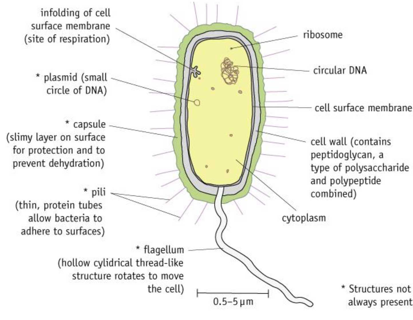 Prokaryotic Cells  U2022 A  Biology