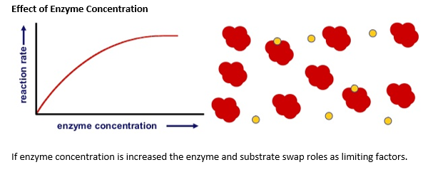 the effect of enzyme concentration on