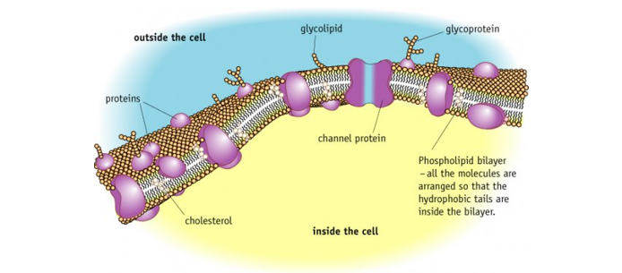 beetroot cell membrane permeability Chemical integrity of a membrane is crucial for the proper functioning of the cell or organelle cellular membranes can only the cell) may affect membrane.